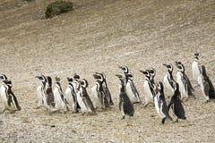 Pinguins de passeio fotos de stock