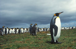 Pinguins de rei Imagens de Stock Royalty Free