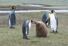 Pinguins de rei com pintainho imagem de stock