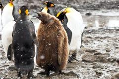 Pinguins de rei com pintainho Imagens de Stock