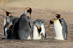 Pinguins de rei com pintainho, patagonicus do aptenodytes, Saunders, Falkland Islands Fotos de Stock Royalty Free