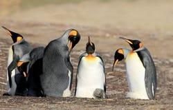 Pinguins de rei com pintainho, patagonicus do aptenodytes, Saunders, Falkland Islands Imagens de Stock Royalty Free