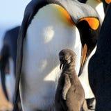 Pinguins de rei com pintainho, patagonicus do aptenodytes, Saunders, Falkland Islands Fotografia de Stock