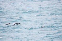Pinguins de rei do voo em Geórgia sul Imagem de Stock Royalty Free