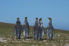 Pinguins de rei em Falkland Island imagem de stock