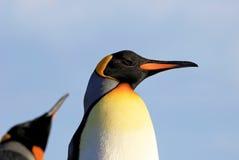 Pinguins de rei, patagonicus do aptenodytes, Saunders, Falkland Islands Imagens de Stock