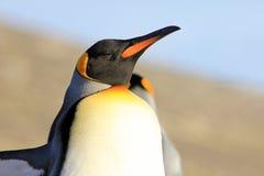 Pinguins de rei, patagonicus do aptenodytes, Saunders, Falkland Islands Foto de Stock