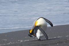 Pinguins de rei a praia no porto do ouro em Geórgia sul Fotografia de Stock Royalty Free