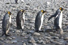 Pinguins de rei, quatro pinguins que andam na luz do sol, a Antártica imagens de stock royalty free