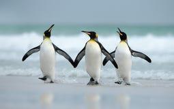 Pinguins de rei que vêm do oceano imagem de stock