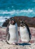Pinguins de Rockhopper imagem de stock royalty free