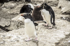 PINGUINS DE ROCKHOPPER Fotos de Stock Royalty Free