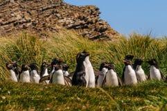Pinguins de Rockhopper imagem de stock