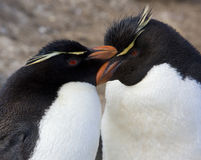Pinguins de Rockhopper - Ilhas Falkland Fotos de Stock