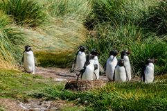 Pinguins de Rockhopper na ilha de Westpoint fotografia de stock