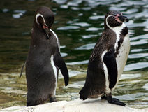 Pinguins di Humboldt Fotografie Stock