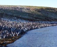 Pinguins di Magellan nel Cile Immagini Stock Libere da Diritti