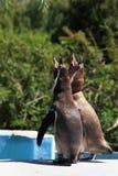 Pinguins do canto Fotografia de Stock