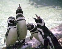 Pinguins do canto Fotos de Stock Royalty Free