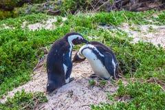 Pinguins do casal fotografia de stock