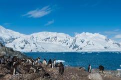 Pinguins do gentoo da Antártica Imagem de Stock Royalty Free