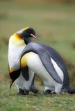 Pinguins do rei fotografia de stock royalty free