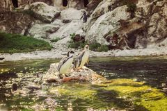 Pinguins do schonbrunn do jardim zoológico foto de stock