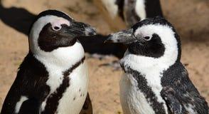 Pinguins dos amantes Imagem de Stock Royalty Free