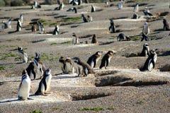 Pinguins e seus ninhos imagem de stock royalty free