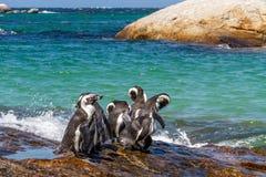 Pinguins em África do Sul fotografia de stock royalty free