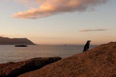 Pinguins em África do Sul Imagens de Stock Royalty Free
