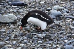 Pinguins em Continente antárctico Imagens de Stock Royalty Free