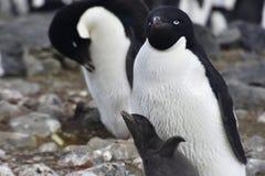 Pinguins em Continente antárctico Foto de Stock