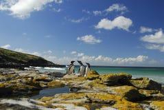 Pinguins em Ilhas Falkland Fotos de Stock