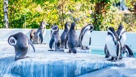 Pinguins em um grupo foto de stock royalty free