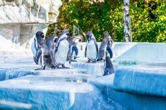 Pinguins em um grupo do jardim zoológico junto imagem de stock