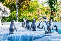 Pinguins em um jardim zoológico fotos de stock royalty free