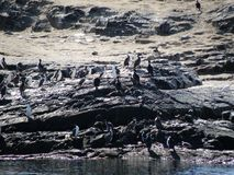 Pinguins em Usuahia Argentina imagens de stock