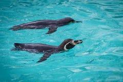 Pinguins engraçados Imagens de Stock