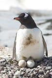 pinguins fêmeas de Gentoo no ninho com dois ovos imagens de stock royalty free