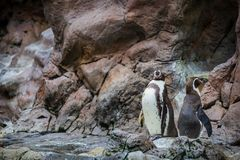 Pinguins fechados no jardim zoológico foto de stock