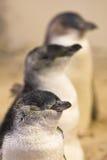 Pinguins feericamente Imagem de Stock