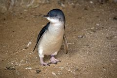 Pinguins feericamente ou pinguim pequeno imagem de stock