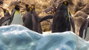 Pinguins i zoo stock video