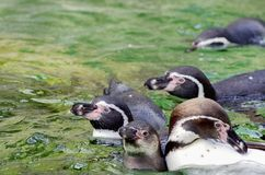 Pinguins im Wasser Stockbild