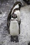 Pinguins levantados fotografia de stock