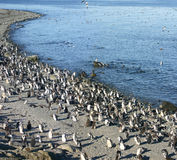 Pinguins Magellan w Chile Obrazy Royalty Free