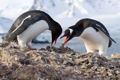 Pinguins masculinos e fêmeas Gentoo do ninho no transporte do oment Fotos de Stock Royalty Free
