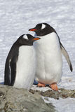 Pinguins masculinos e fêmeas de Gentoo que estão perto do local onde Fotografia de Stock