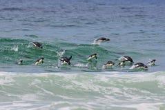 Pinguins na água Imagens de Stock